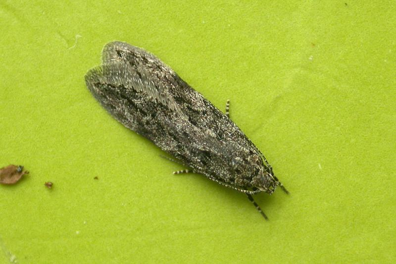 Carpatolechia notatella